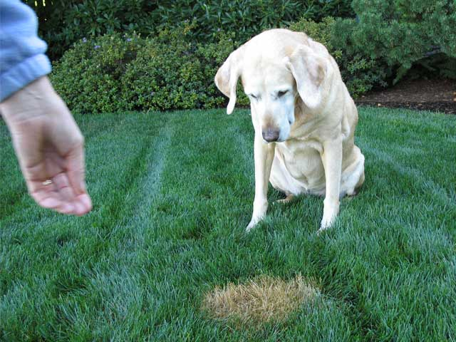 Curing Dog Urine Spots